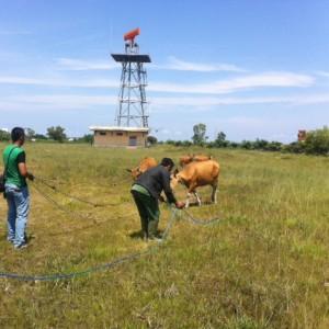 Petugas Satpol PP dan Security Bandara berusaha untuk mengikat dan mengamankan sapi (hfa)