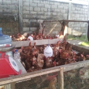Penjual ayam dadakan di Pasar Tenguyun (ctr)