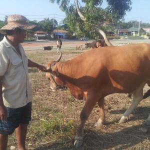 Junaedi dengan sapi limusin, harga sapi tersebut bisa tembus Rp 28 juta