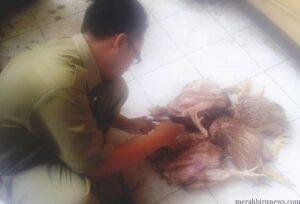 Petugas dari Disnaktan lakukan pemeriksaan dugaan ayam tiren yang disita dari penjualnya (ctr)