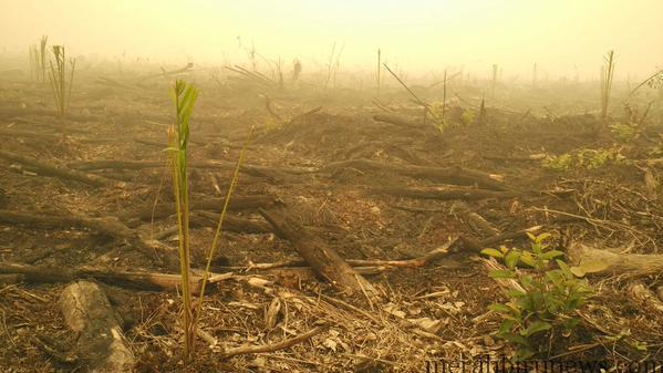 Foto Lahan Yang Dibakar Mulai Ditumbuhi Sawit