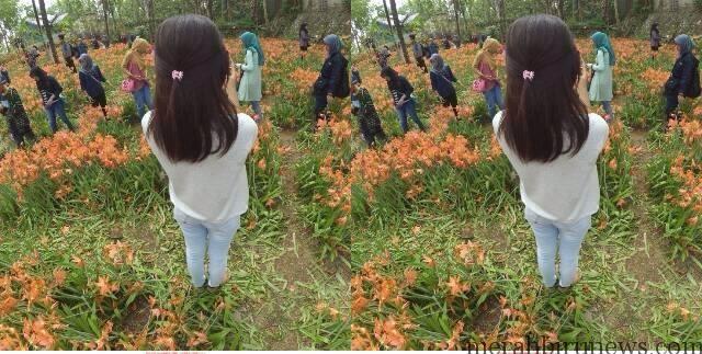 Inilah Penampakan Kebun Bunga Amaryllis di Patuk Gunungkidul Jogja Yang Rusak Karena Selfie